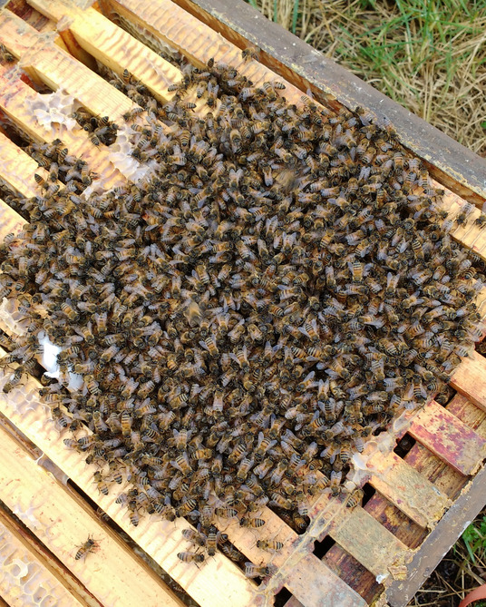Honeybees in a loose cluster